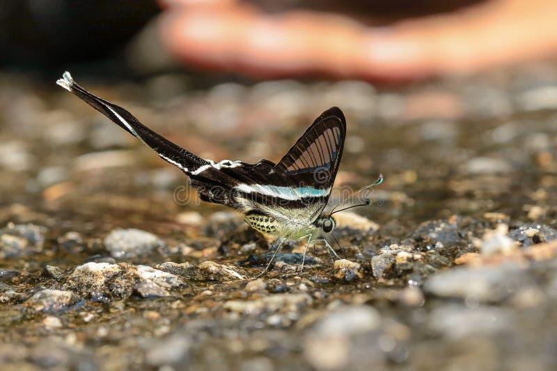 Mariposa verde del dragontail fotografía de archivo libre de regalías