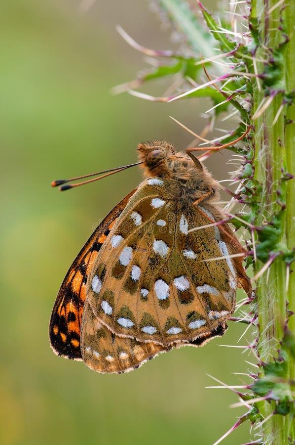 Mariposa verde oscuro del Fritillary fotos de archivo