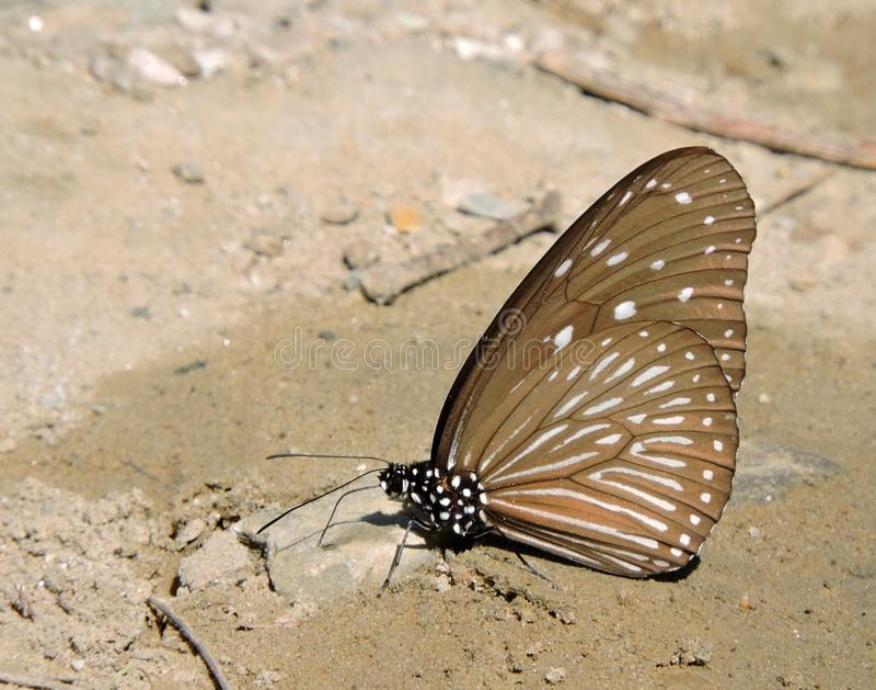 Mariposa vidriosa del tigre fotos de archivo