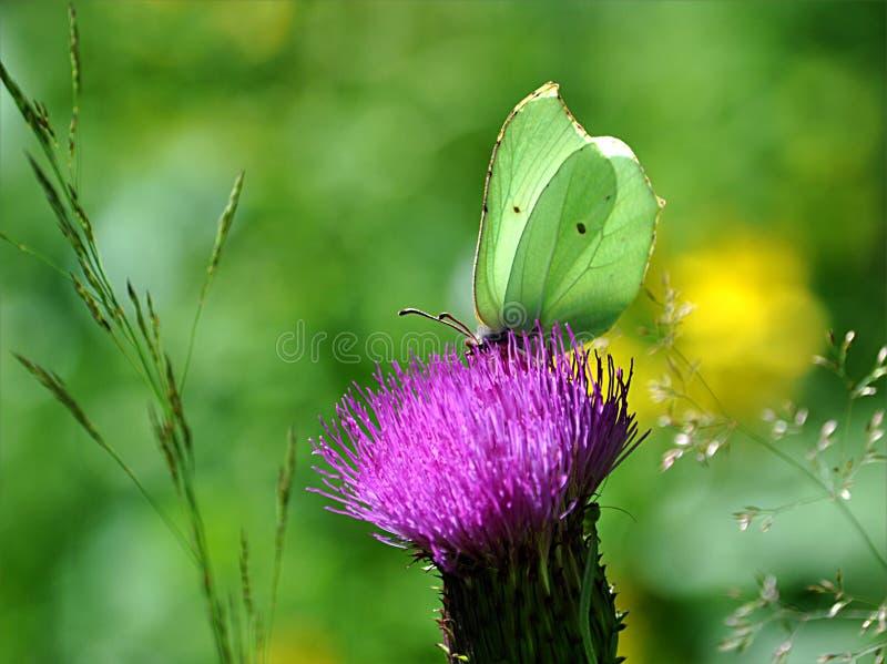 Mariposa y cardo floreciente fotografía de archivo libre de regalías