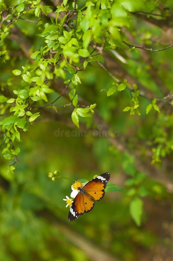 Mariposa y flor blanca del cosmos debajo del árbol imagen de archivo