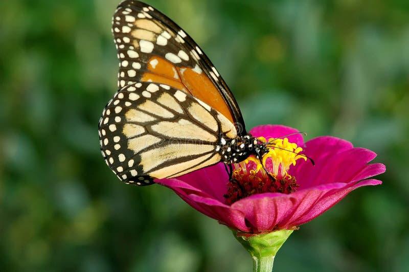 Mariposa y flor roja foto de archivo libre de regalías