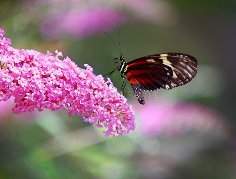 Mariposa y lila imagenes de archivo