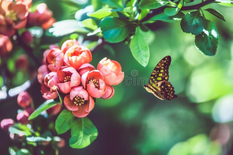 Mariposa y rama hermosa del árbol floreciente, brotes rosados en un fondo suavemente verde y mariposa hermosa, imagen de archivo