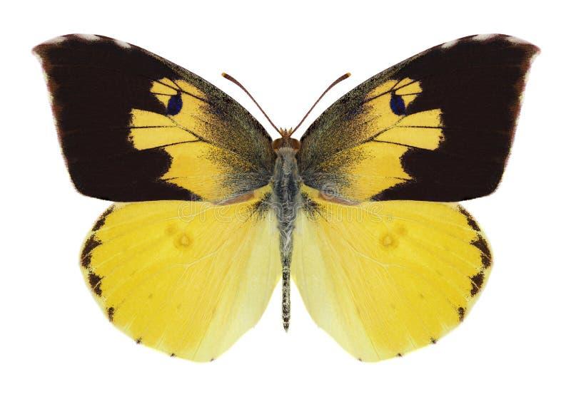 Mariposa Zerene Eurydice imagen de archivo libre de regalías