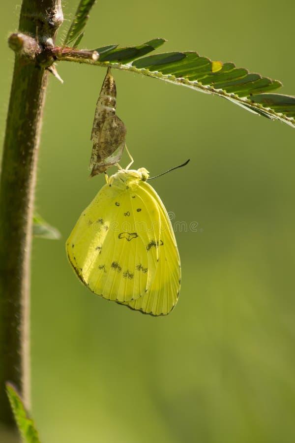 Mariposas amarillas lindas fotografía de archivo