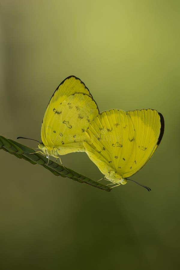 Mariposas amarillas lindas imágenes de archivo libres de regalías