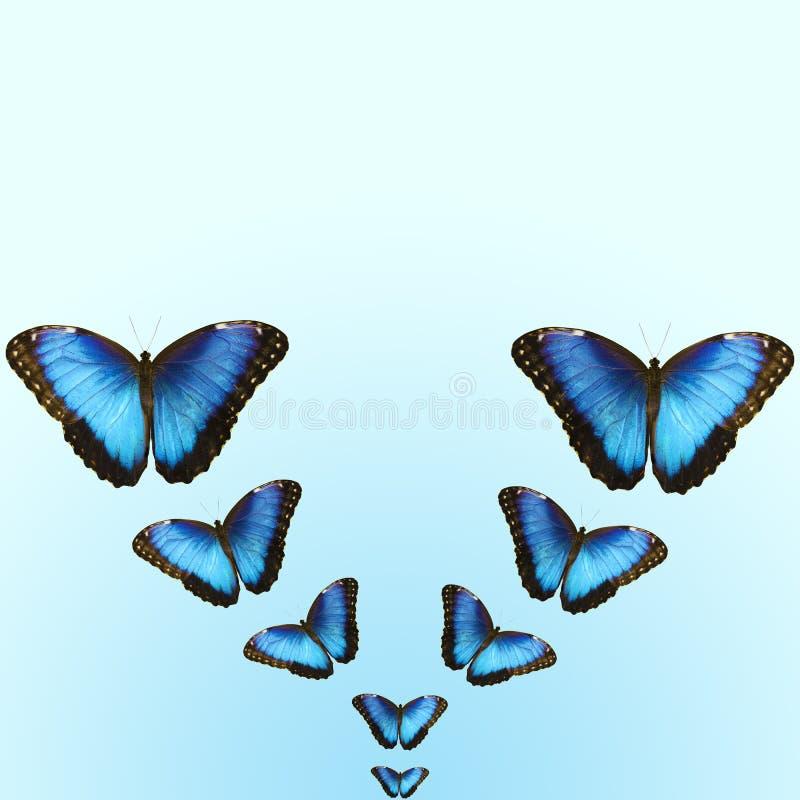 Mariposas azules brillantes del morpho en fondo azul con el espacio de la copia fotos de archivo