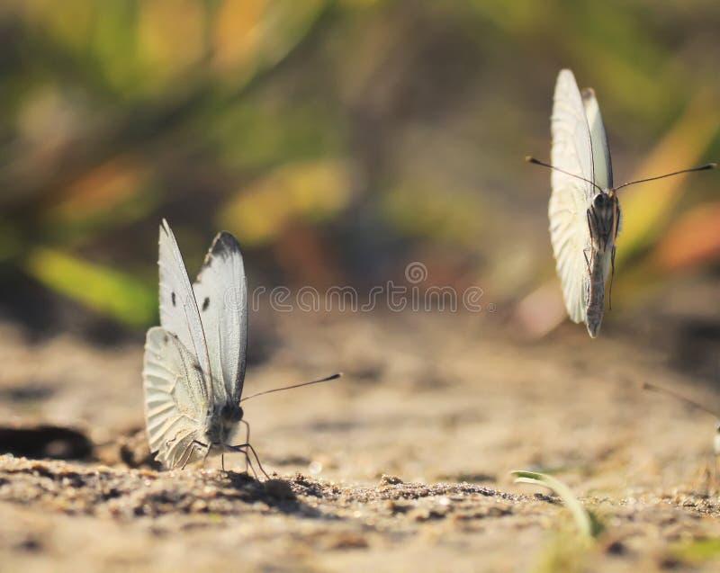 Mariposas blancas que circundan sobre la playa de la arena foto de archivo