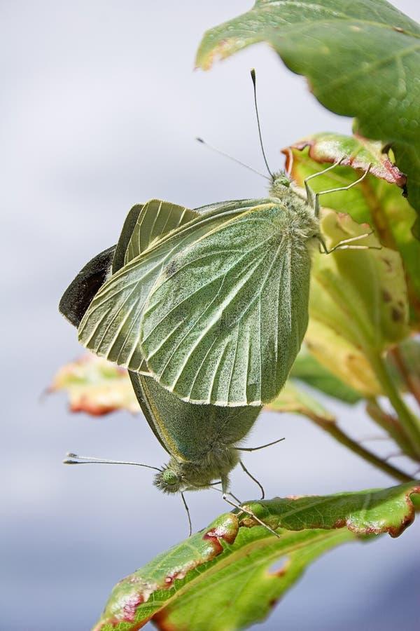 Mariposas: Cortejo en resorte foto de archivo