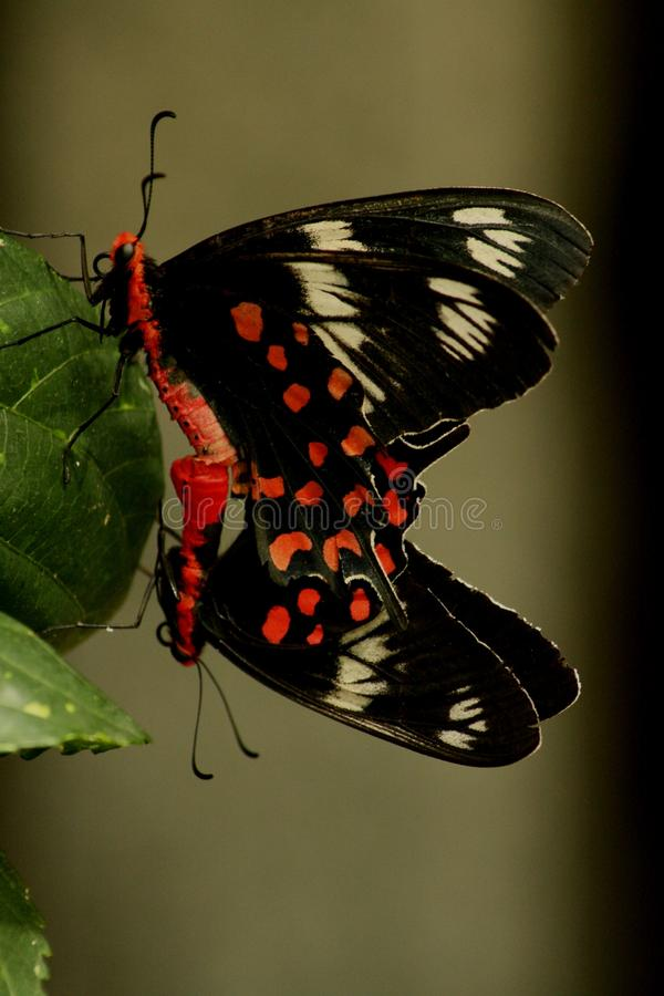 Mariposas de acoplamiento. fotografía de archivo