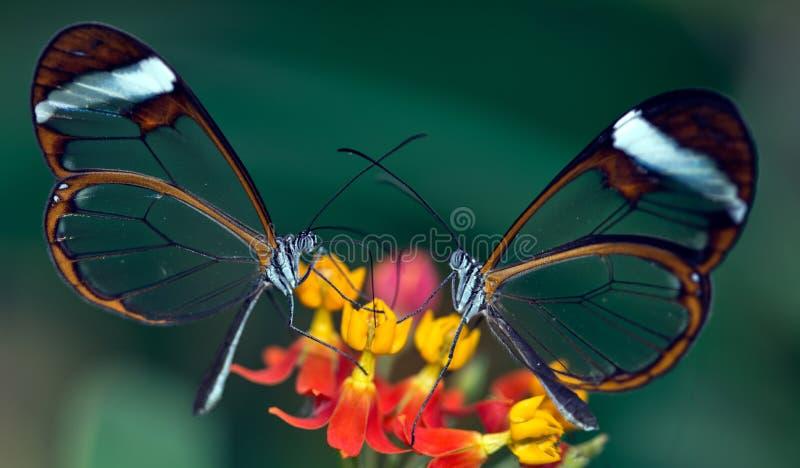 Mariposas de Glasswing foto de archivo