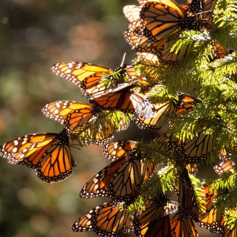 Mariposas de monarca en rama de árbol fotografía de archivo