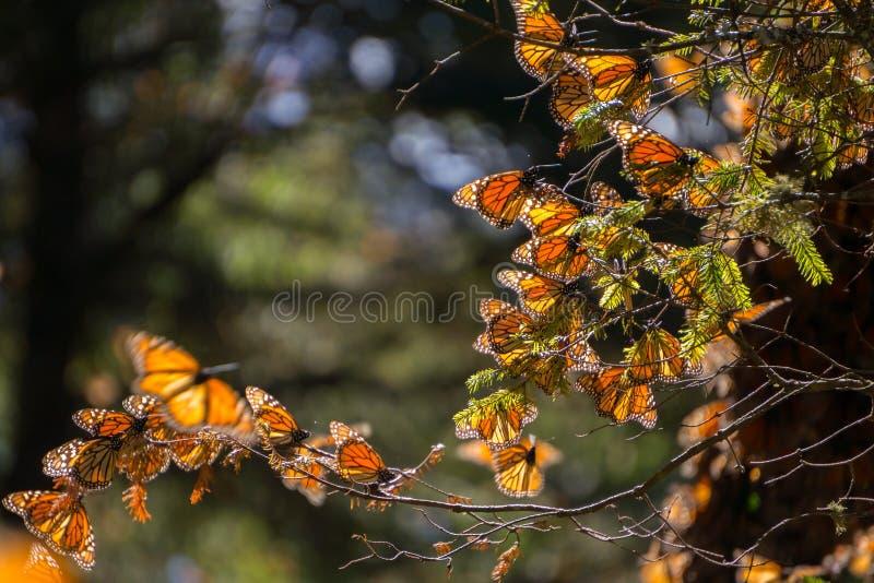 Mariposas de monarca en rama de árbol imagen de archivo libre de regalías