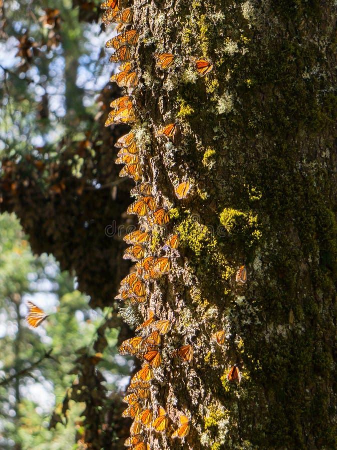 Mariposas de monarca en tronco de árbol foto de archivo