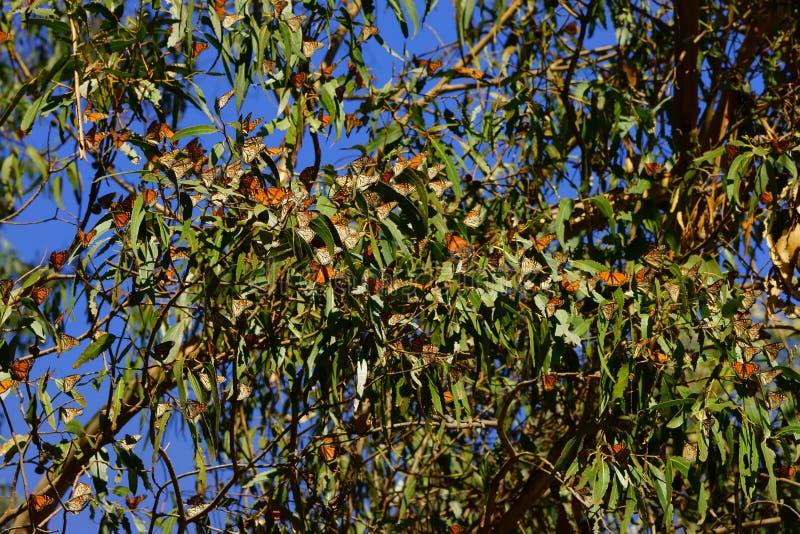 Mariposas de monarca múltiples que se sientan en una rama de árbol foto de archivo libre de regalías