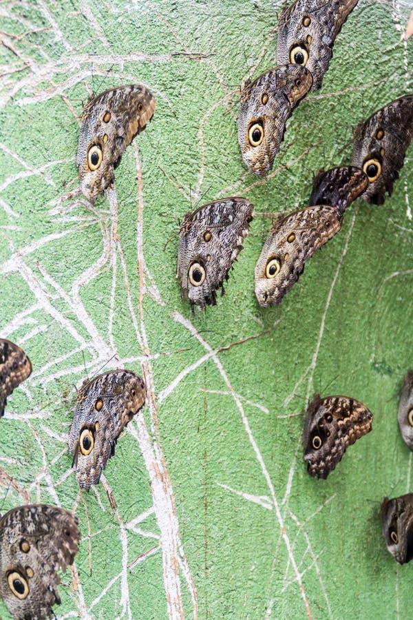 Mariposas del búho fotografía de archivo libre de regalías