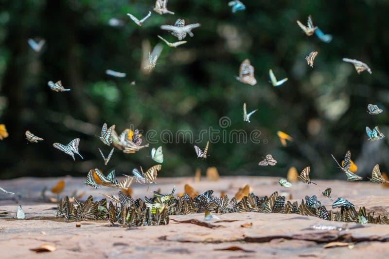 Mariposas del foco selectivo en la tierra y el vuelo en fondo de la naturaleza Agamemnon atado borroso de Graphium de las maripos fotos de archivo