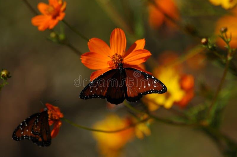 Mariposas en amapolas fotos de archivo