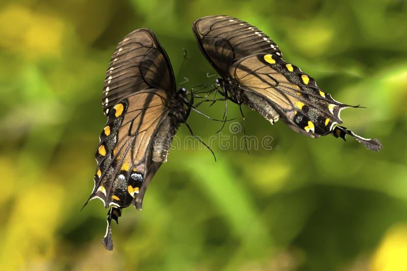Mariposas que combaten en duelo imagen de archivo