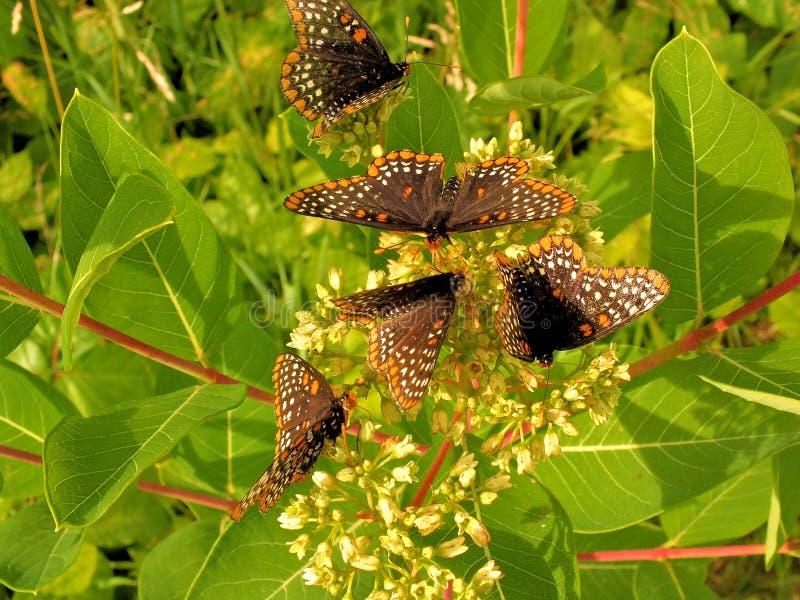 Mariposas recolectadas en las flores del verano imagenes de archivo