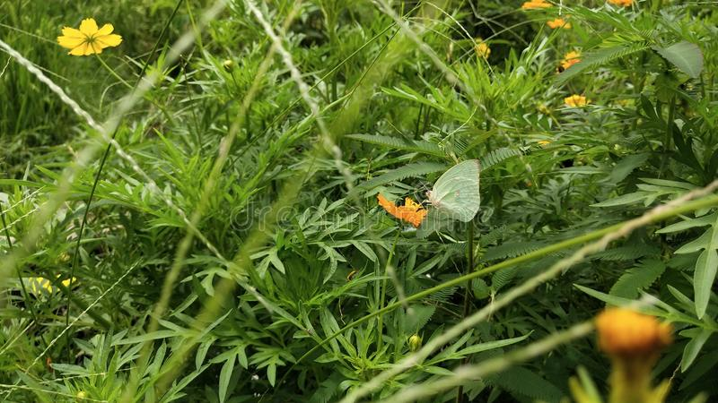 Mariposas salvajes verdes encaramadas en las flores anaranjadas imagenes de archivo