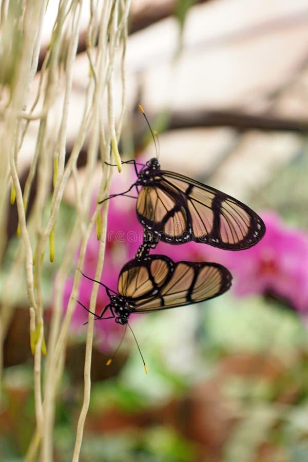 Mariposas transparentes que tienen sexo en Mindo, Ecuador fotografía de archivo