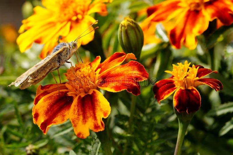 Mariposas Verano La belleza natural de Rusia foto de archivo libre de regalías