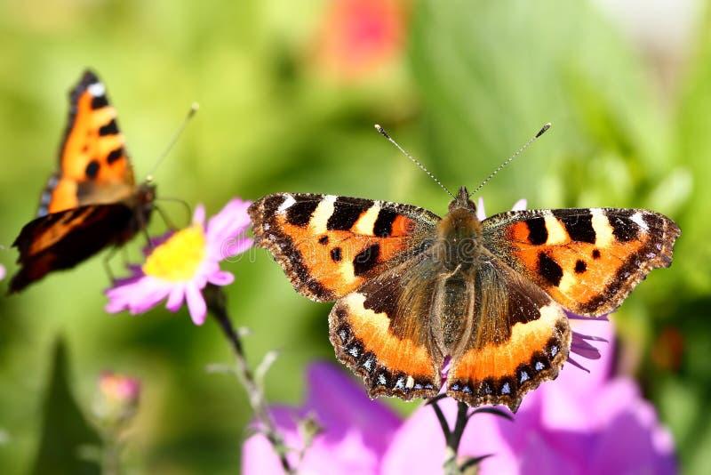 Mariposas y flores fotografía de archivo libre de regalías
