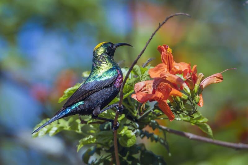 Mariqua Sunbird i den Kruger nationalparken, Sydafrika fotografering för bildbyråer