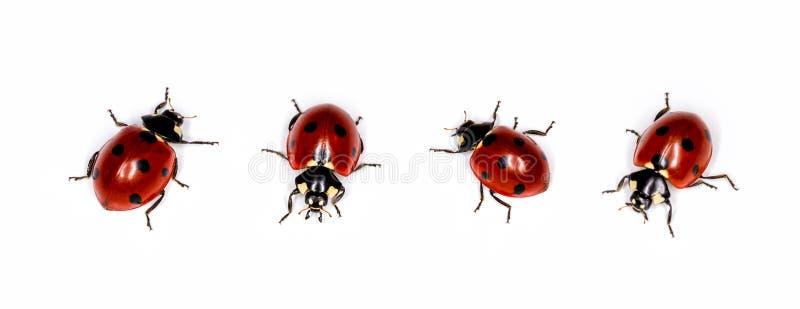 Mariquita del escarabajo, de diversos ángulos Mariquita aislada en el fondo blanco fotos de archivo libres de regalías