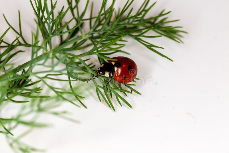 Mariquita del escarabajo que se arrastra en una ramita verde Puntilla verde del eneldo en blanco fotos de archivo