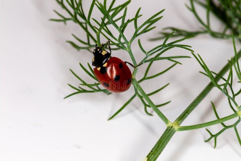 Mariquita del escarabajo que se arrastra en una ramita verde Puntilla verde del eneldo en blanco imagen de archivo libre de regalías
