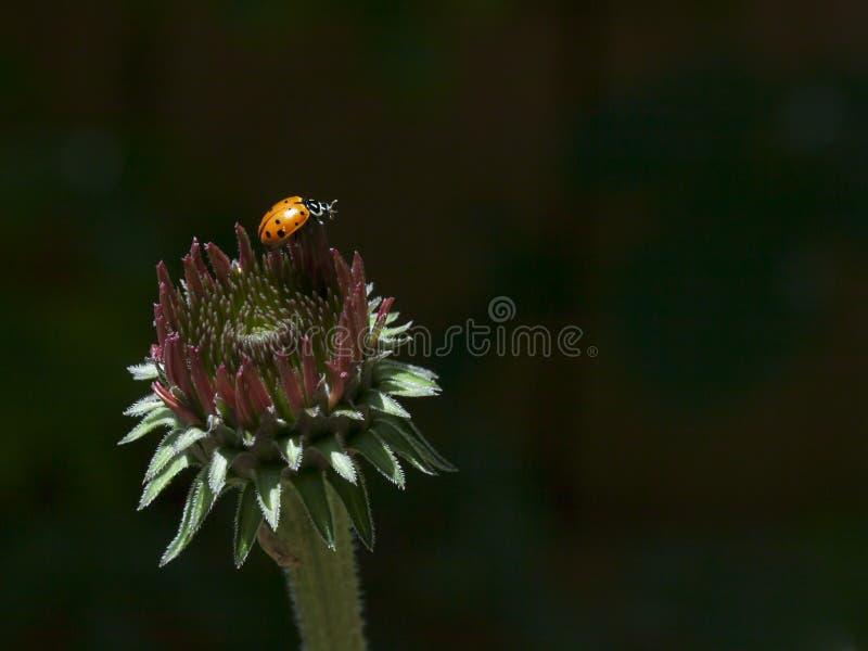 Mariquita en Echinacea foto de archivo