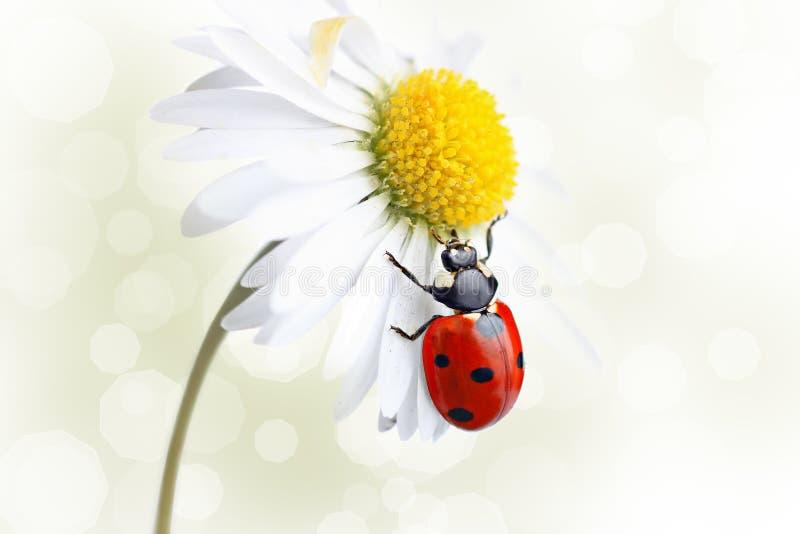 Mariquita en la flor de la margarita imagen de archivo