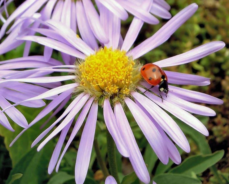 Mariquita en una flor fotografía de archivo libre de regalías