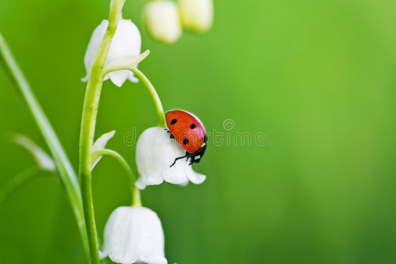 Mariquita en una flor fotos de archivo libres de regalías