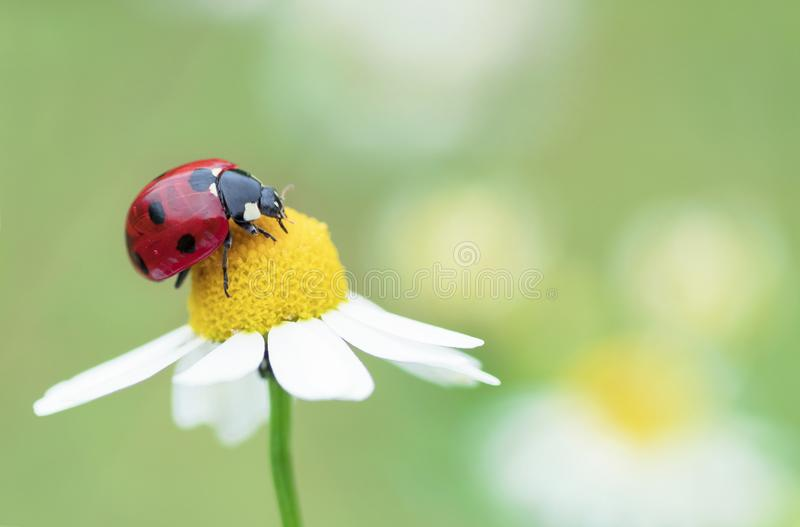 Mariquita en una flor de la manzanilla imagenes de archivo