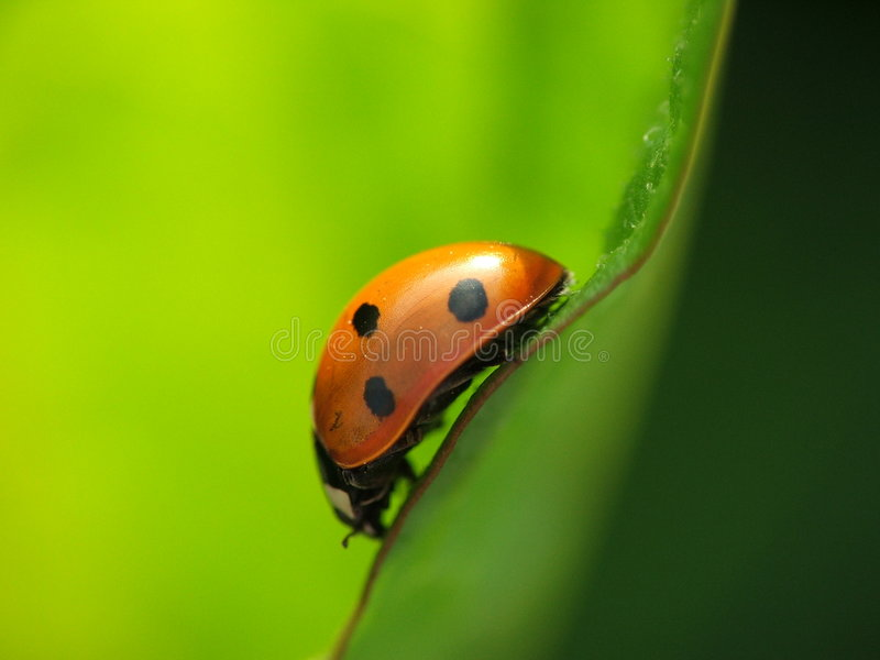 Mariquita, Ladybug, Coccinella Septempunctata fotos de archivo