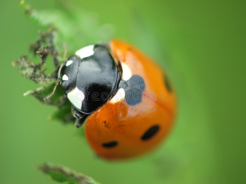 Mariquita, Ladybug, Coccinella Septempunctata foto de archivo