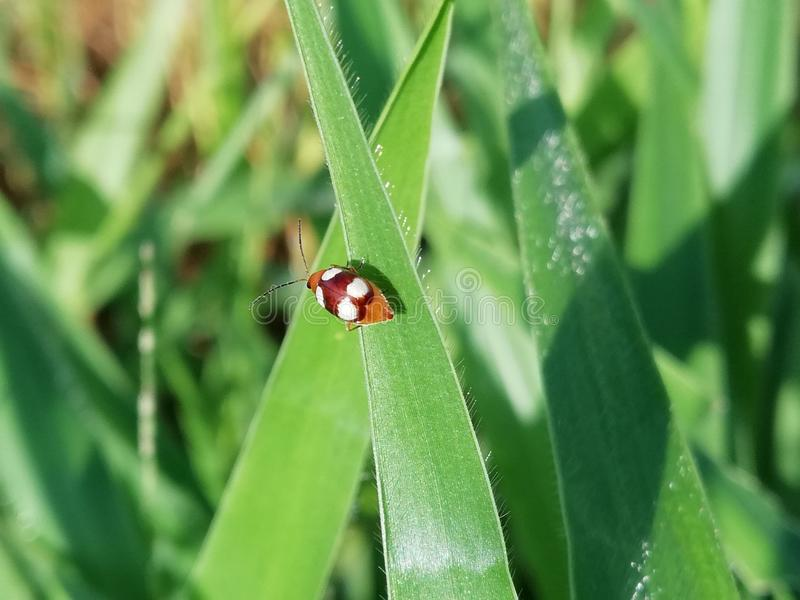 Mariquita manchada cuatro en la hoja de la hierba fotografía de archivo