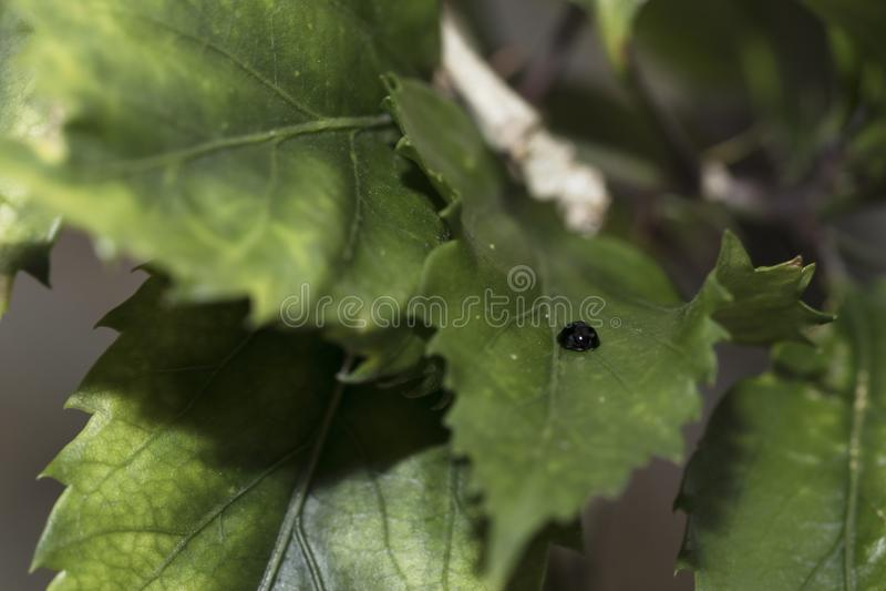 Mariquita negra que da une vuelta en naturaleza Primer detallado fotografía de archivo libre de regalías