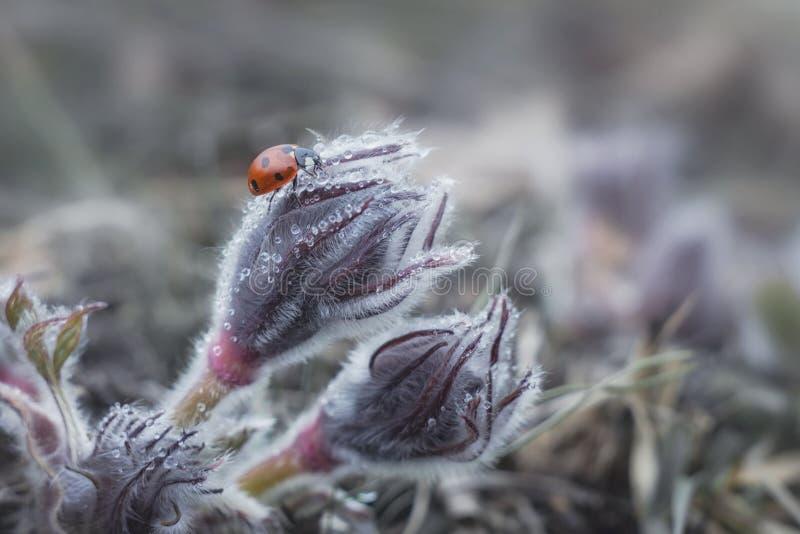 Mariquita que se arrastra en una pasque-flor o un Pulsatilla vulgaris fotos de archivo libres de regalías