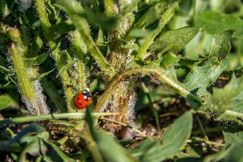 Mariquita roja brillante entre hierba verde fotos de archivo