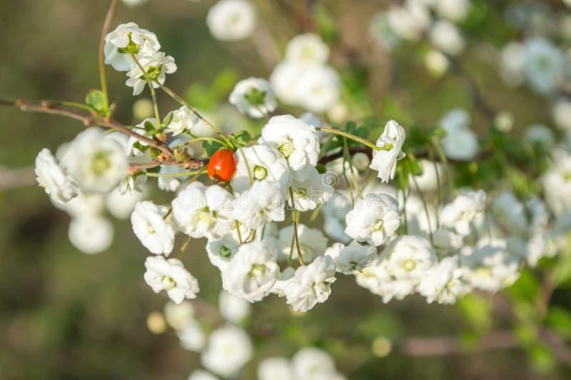 Mariquita roja en flores blancas imagen de archivo libre de regalías