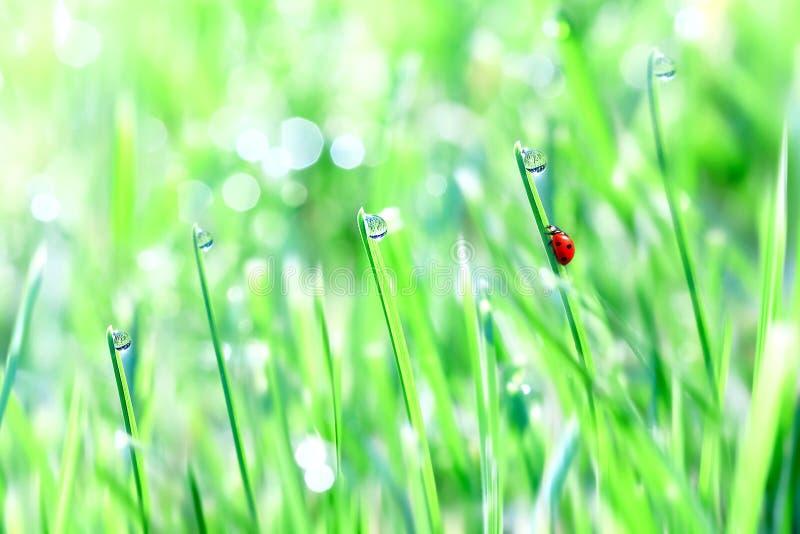 Mariquita roja en la hierba blanda verde con descensos Fondo fresco de la primavera del verano Espacio libre foto de archivo