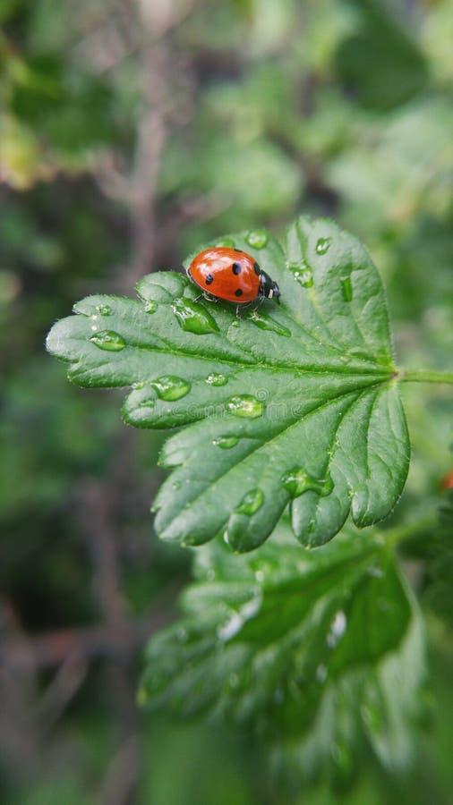 Mariquita roja en una hoja verde después de la lluvia en el jardín foto de archivo libre de regalías