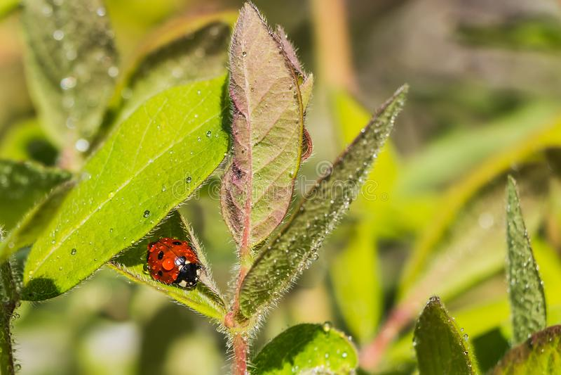 Mariquita roja y negra brillante con descensos del agua en las hojas verdes de la madreselva despu?s de la lluvia en el jard?n en foto de archivo