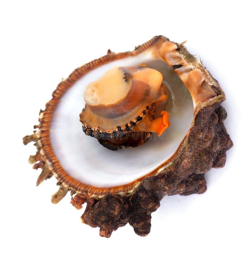 Marisco cru no shell aberto foto de stock