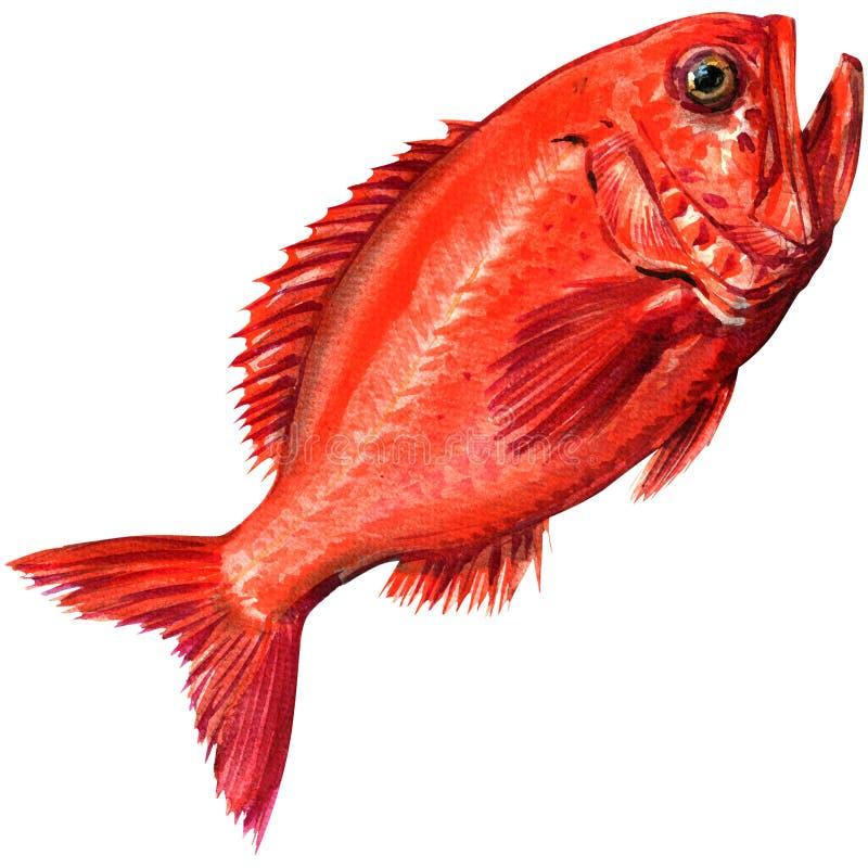Marisco vermelho isolado, ilustração dos peixes do decadactylus do beryx da aquarela no branco foto de stock